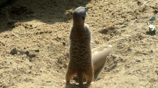 Hobnocker Meerkat